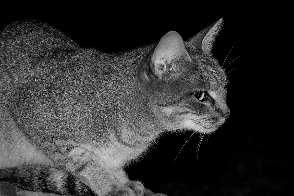 An African wildcat spotted at night in Tuli Block, Botswana © Eddie Coombes