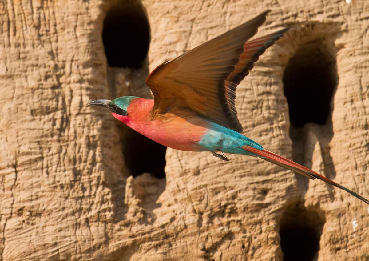 A carmine bee-eater in flight to its burrow in South Luangwa National Park, Zambia © Edward Rogowski