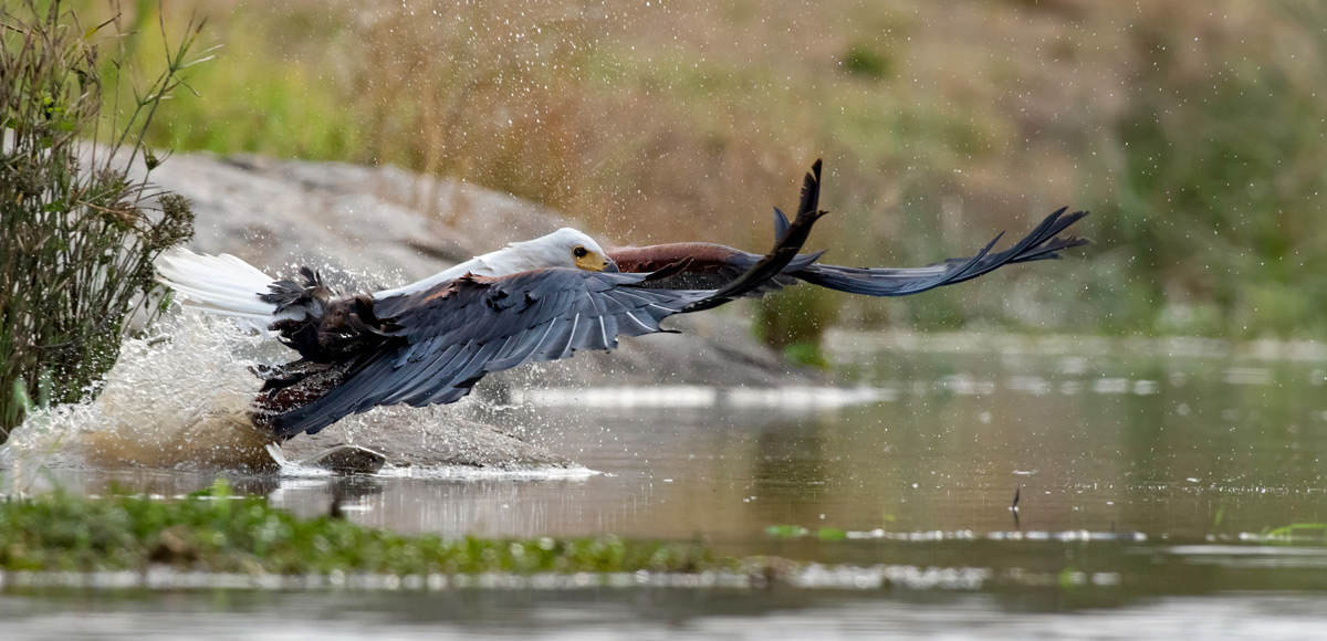 """""""This fish eagle attempted to catch a fish and missed (you can see the fish just in front the eagle's talons)"""" – Kruger National Park, South Africa © Ernest Porter"""