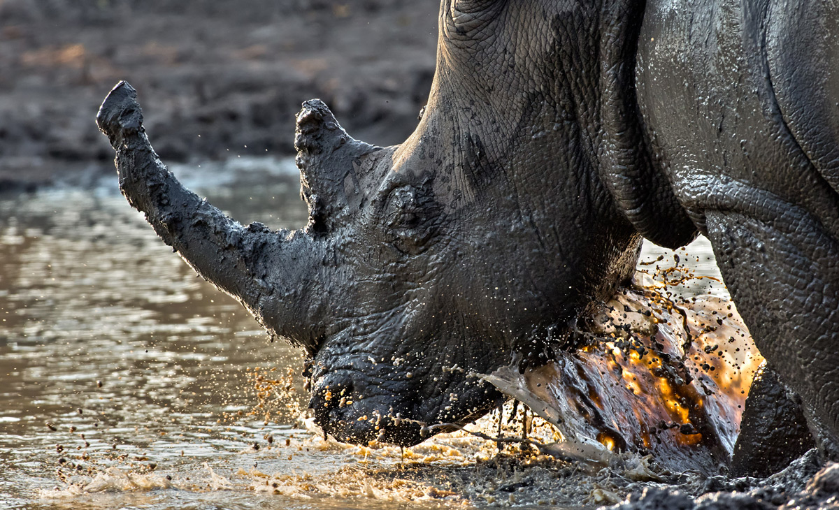 A white rhino takes a mud bath in Kruger National Park, South Africa © Ernest Porter