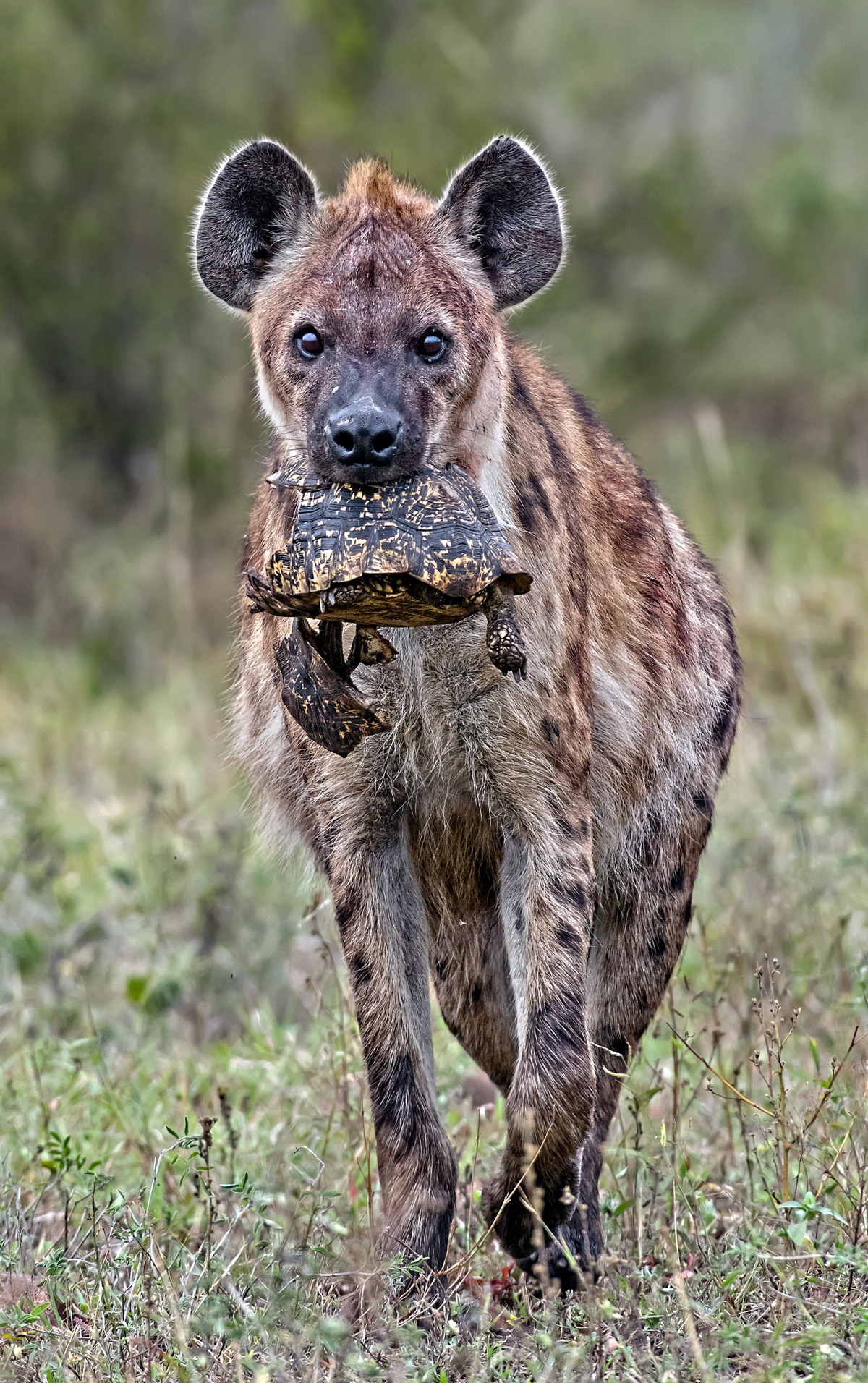 A spotted hyena with a leopard tortoise in Kruger National Park, South Africa © Ernest Porter