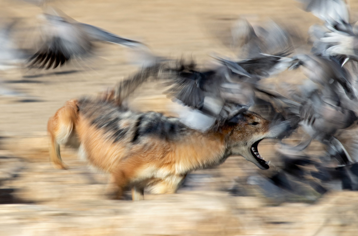 A black-backed jackal charges after doves in Kgalagadi Transfrontier Park, South Africa © Ernest Porter