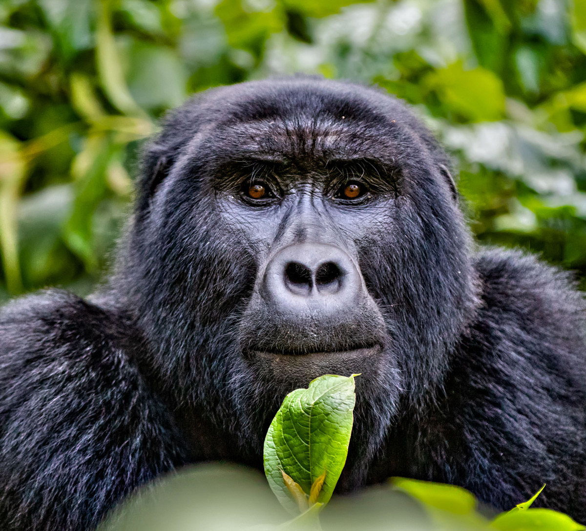 Portrait of a mountain gorilla in Bwindi Impenetrable National Park, Uganda © Ernest Porter