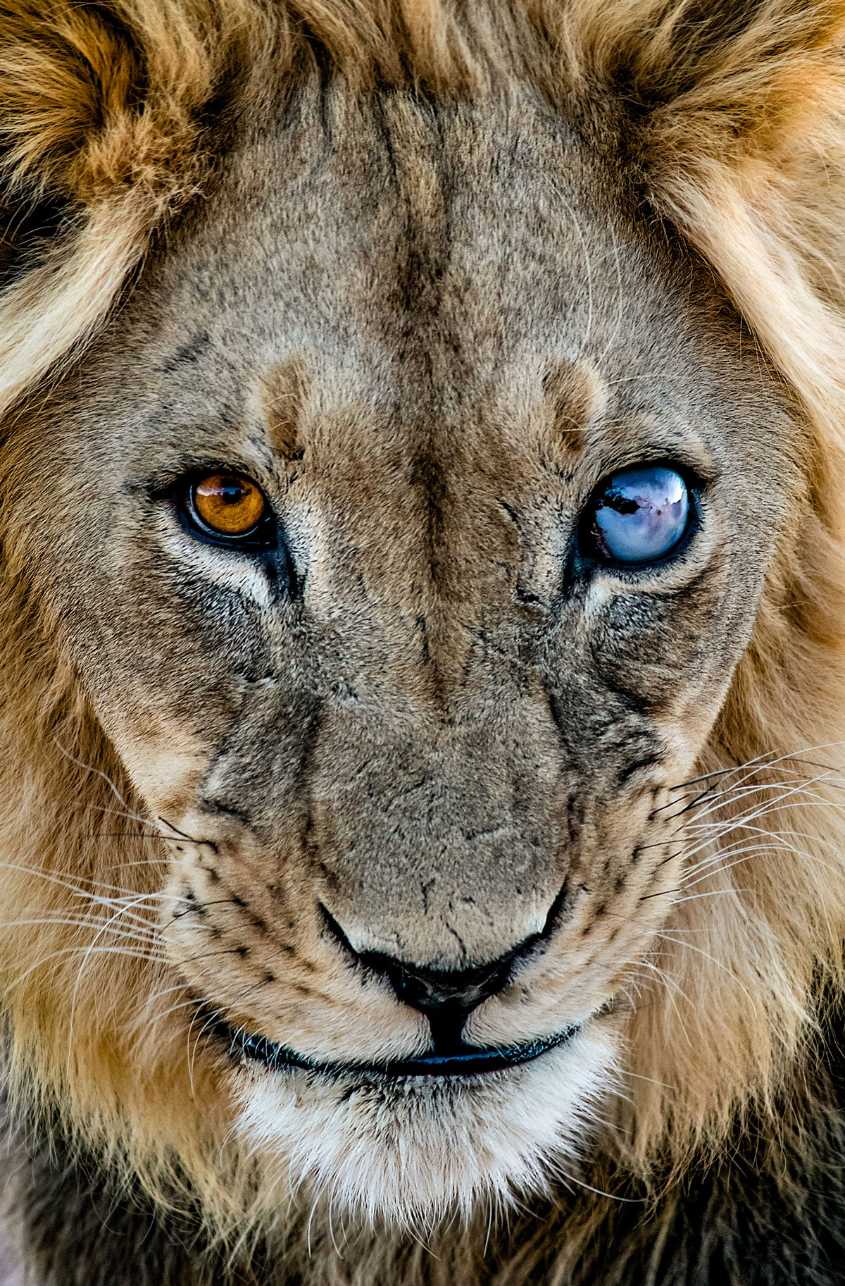 """Sun and moon"" – a lion, blind in one eye, in Kgalagadi Transfrontier Park, South Africa © Ernest Porter"