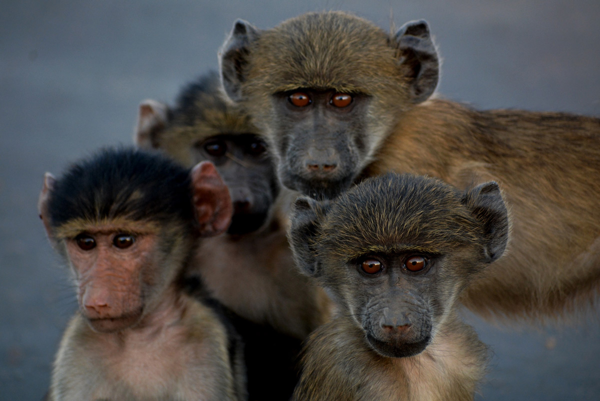 """The gang"" – young baboons watch the photographer with interest in Kruger National Park, South Africa © Gabriella Kiss"