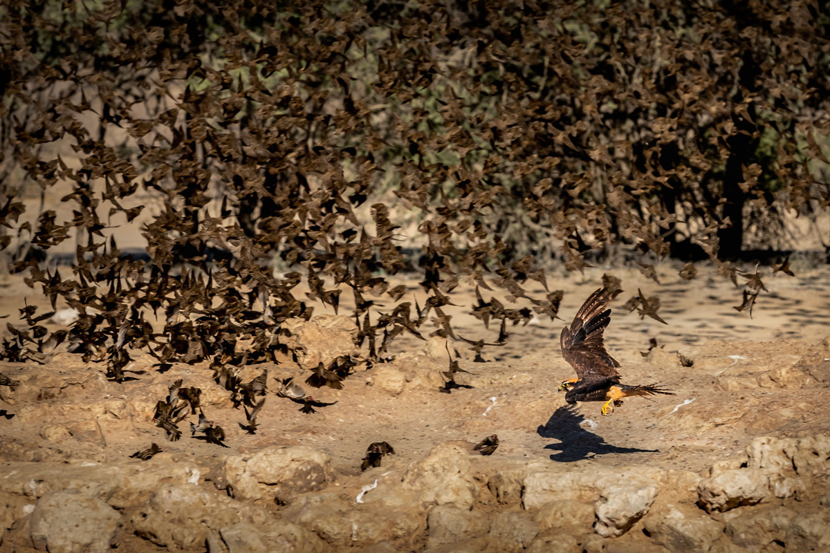 A lanner falcon comes in for the kill on a flock of red-billed queleas at a waterhole in Kgalagadi Transfrontier Park, South Africa © Gideon Malherbe