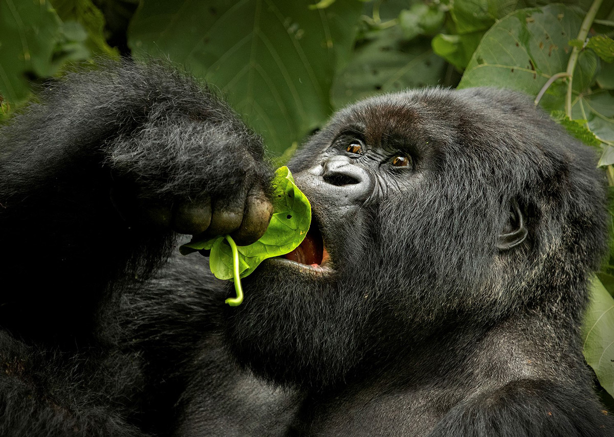 A mountain gorilla eats in Virunga National Park, Democratic Republic of the Congo © Hesté de Beer