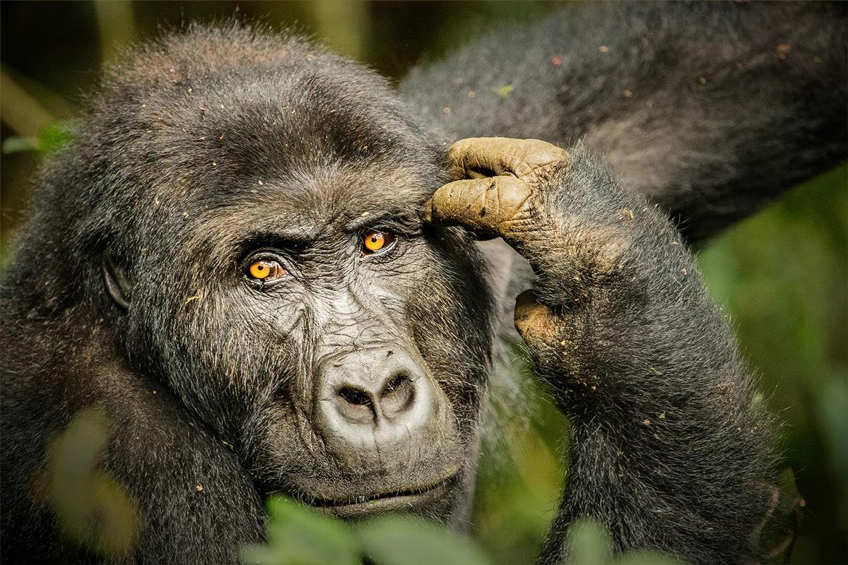 A female Grauer's gorilla in Kahuzi-Biega National Park, Democratic Republic of the Congo © Hesté de Beer