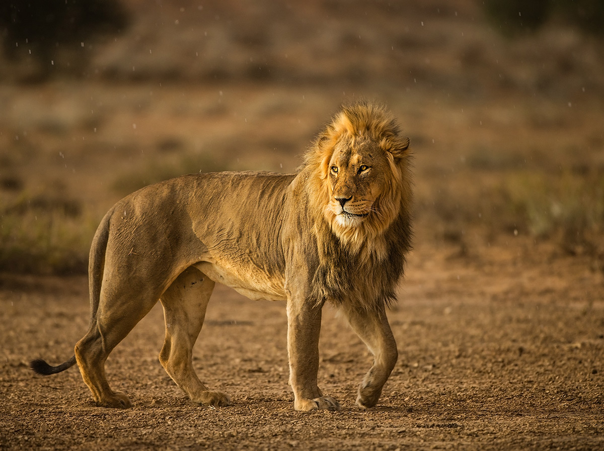 A lion walks in the evening rain in Kgalagadi Transfrontier Park, South Africa © Hesté de Beer