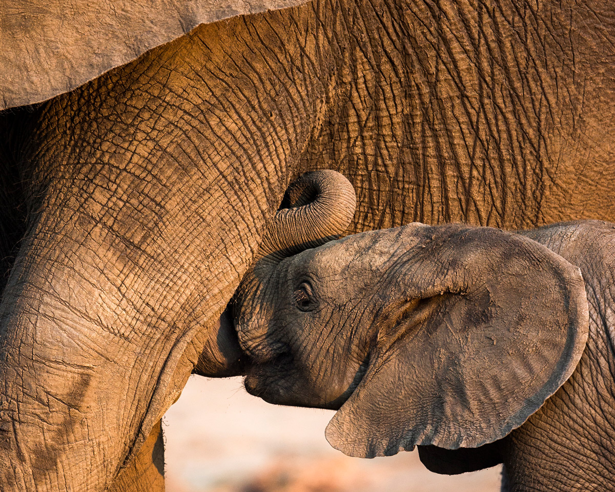 An elephant calf suckles from its mother in Kruger National Park, South Africa © Hilda le Roux