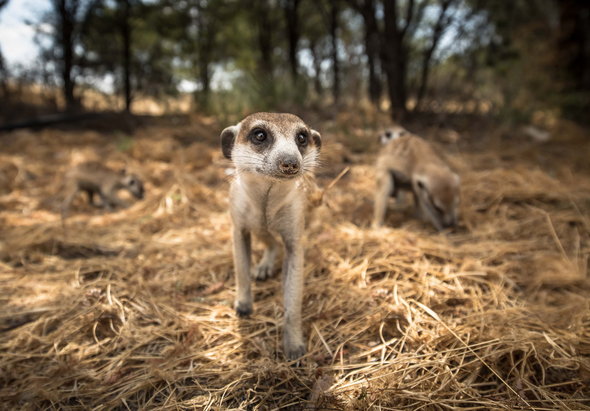Up close and personal with meerkats in Kgalagadi Transfrontier Park, South Africa © Howard Patrick