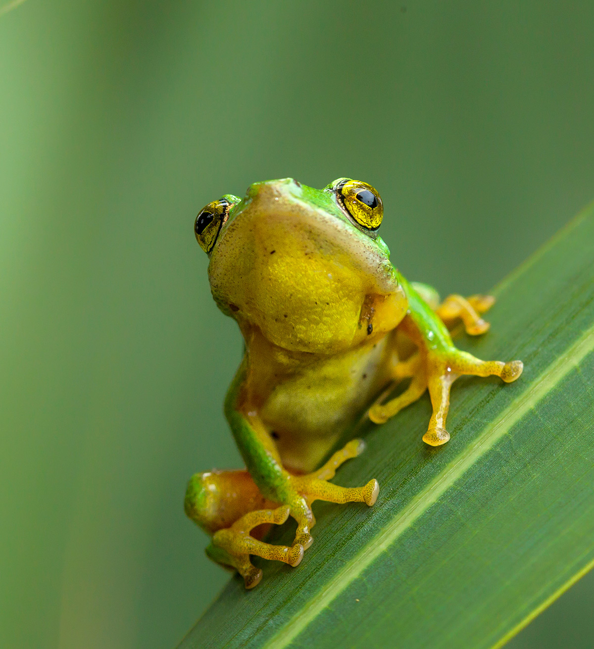 A tinker reed frog is discovered while exploring the undergrowth in the Umtamvuna Nature Reserve, South Africa © Ingrid Sellschop