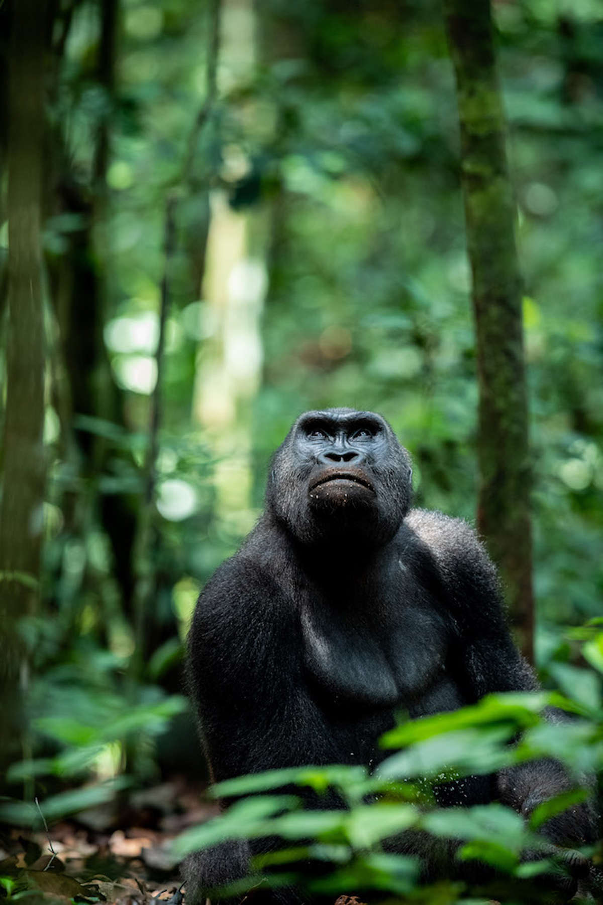 A lowland gorilla looking thoughtful in Dzanga-Sangha National Park, Central African Republic © Jacha Potgieter