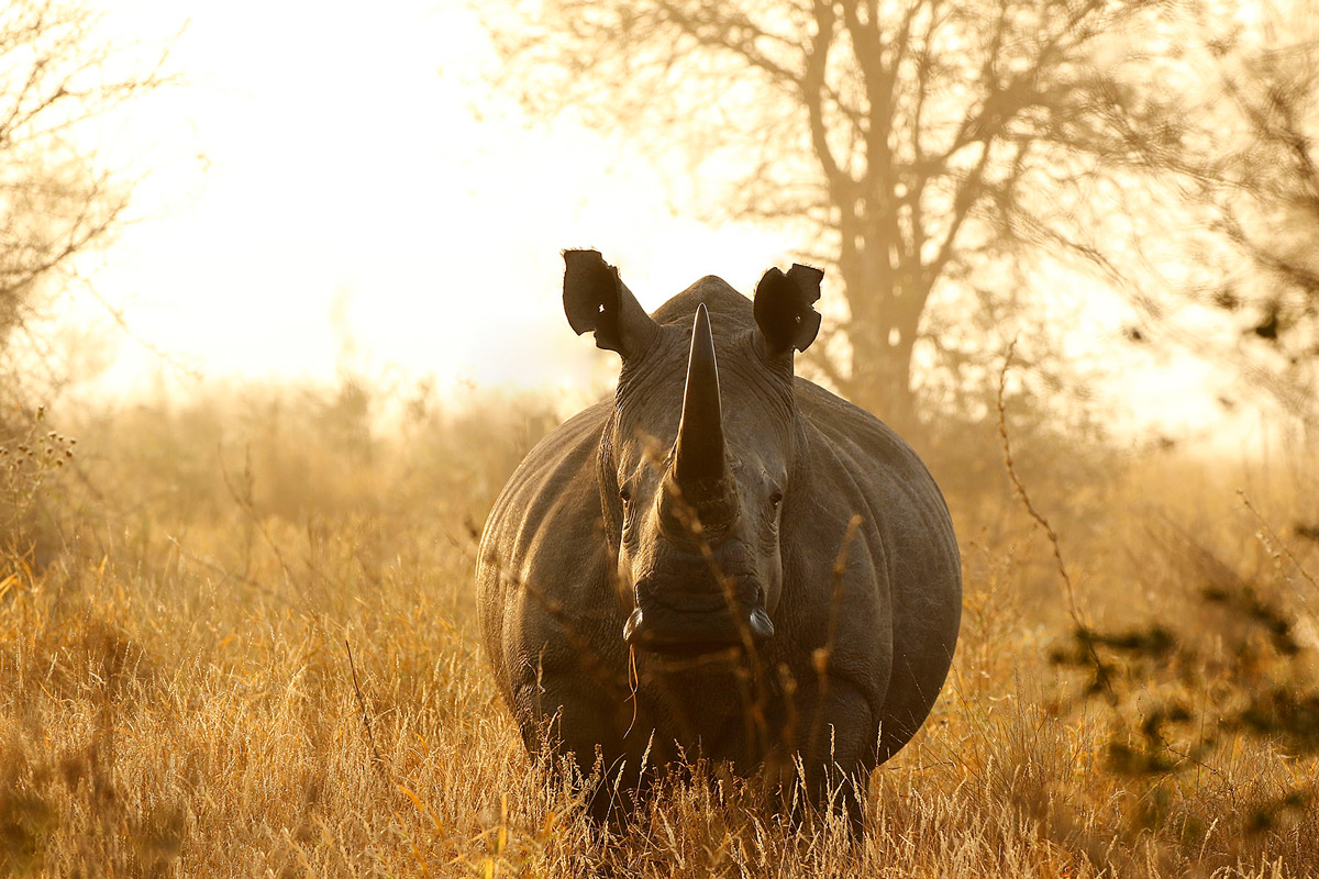 A white rhino bull spotted in the early morning in Kruger National Park, South Africa © Jaco Beukman