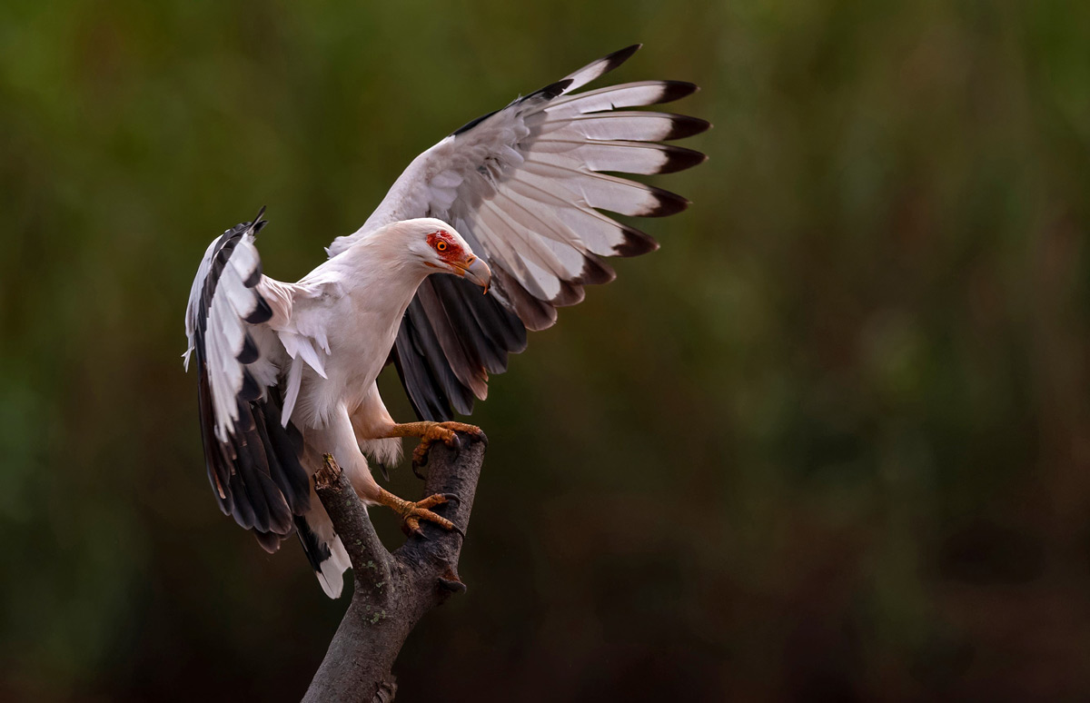 A palm-nut vulture lands at the Umkhobi Lagoon in KwaZulu-Natal, South Africa © Jacques Sellschop