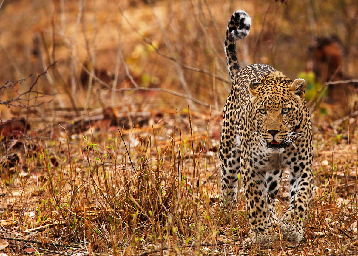 A leopard patrols his territory in Sabi Sands Private Game Reserve, South Africa © Jane Pearce
