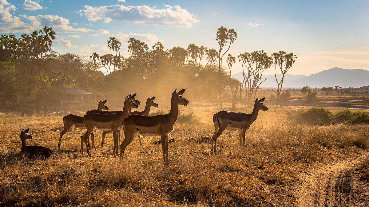 A herd of impala stand alert in dusty Samburu National Reserve, Kenya © Jane Wynyard