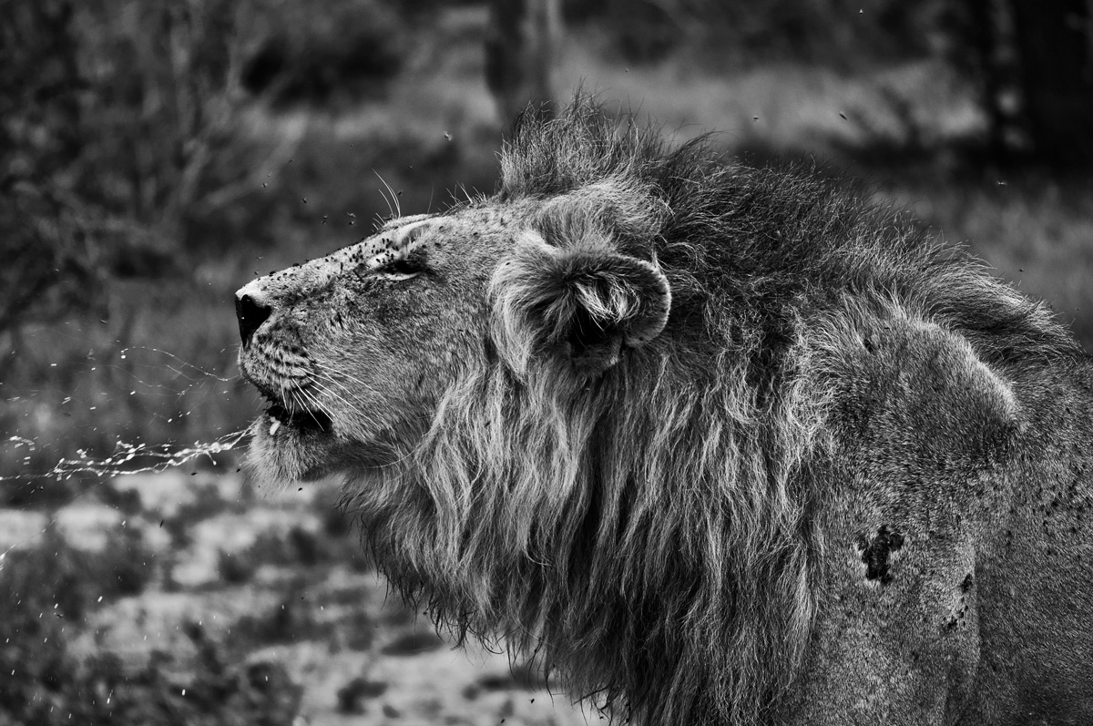 """""""The power of a lion's roar is immense. It's always one of the best things to hear when in the bush. Such a distinctive and mesmerising sound"""" – Kruger National Park, South Africa © Justin Thorne"""