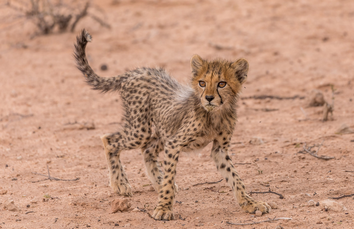 """A young cheetah startles at something. He's too young to know what should scare him or not, so everything is scary"" – Kgalagadi Transfrontier Park, South Africa © Karen Blackwood"