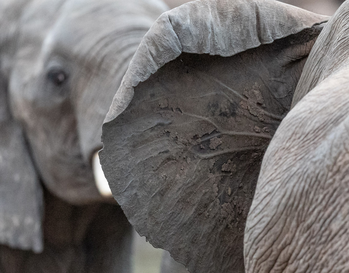 Detail of an elephant's ear, Kruger National Park, South Africa © Karen Blackwood