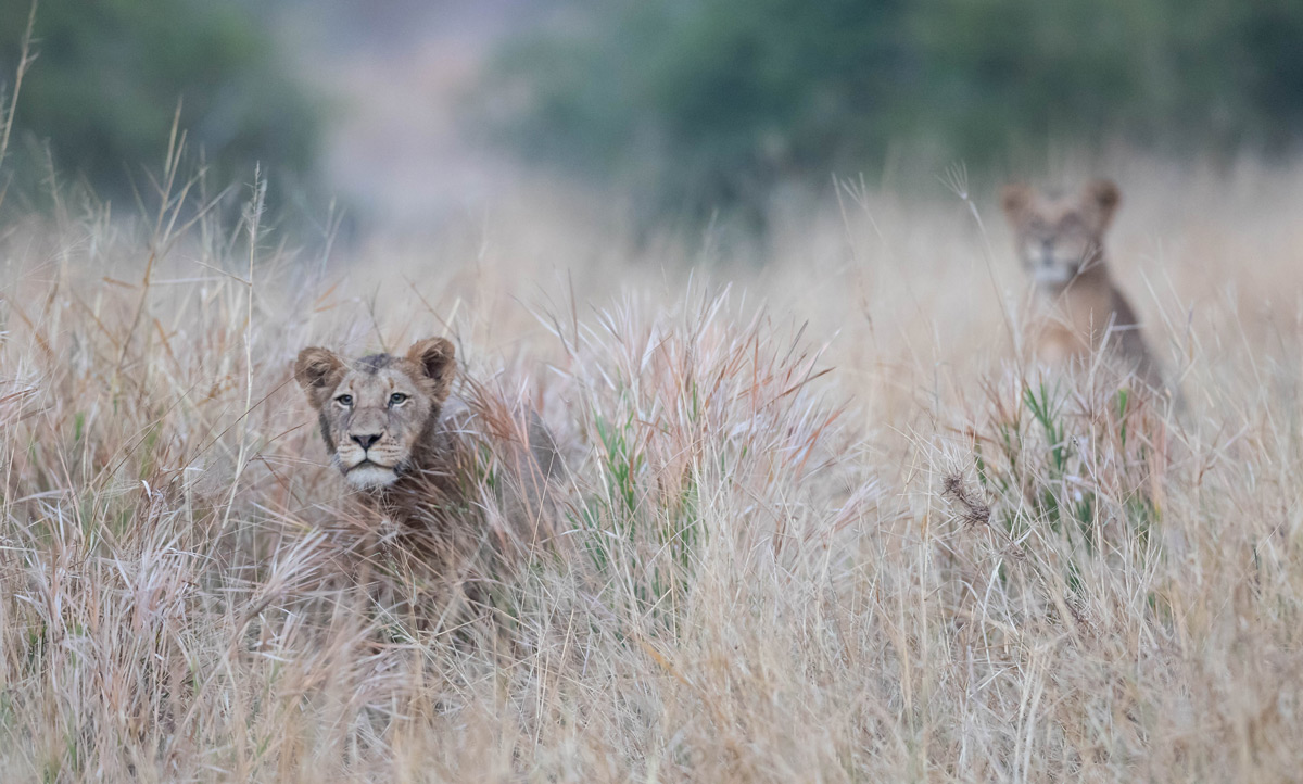 """A young lioness watches her brother – the only male lion in a pride of 15 – practice stalking"" in Sabi Sands Private Game Reserve, South Africa © Karen Blackwood"