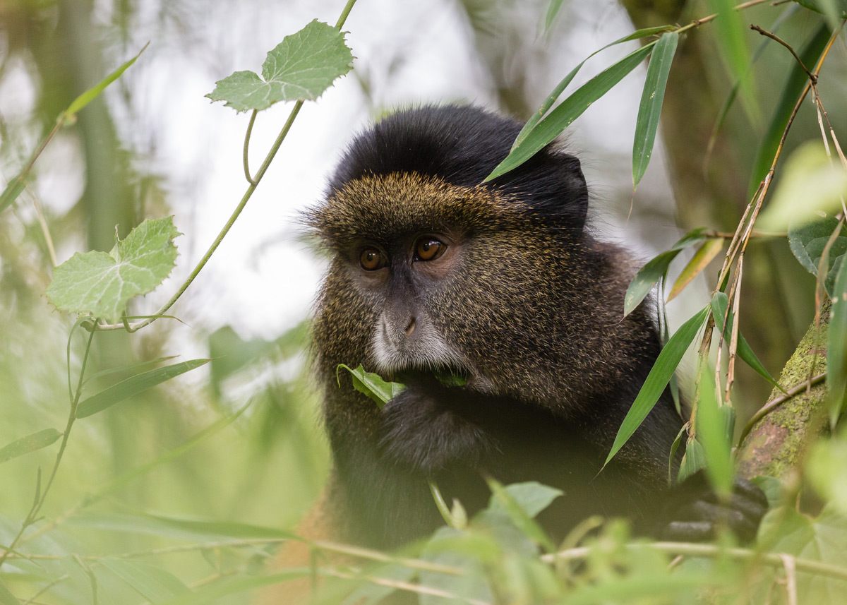 Golden monkey in Volcanoes National Park, Rwanda © Kellie Netherwood