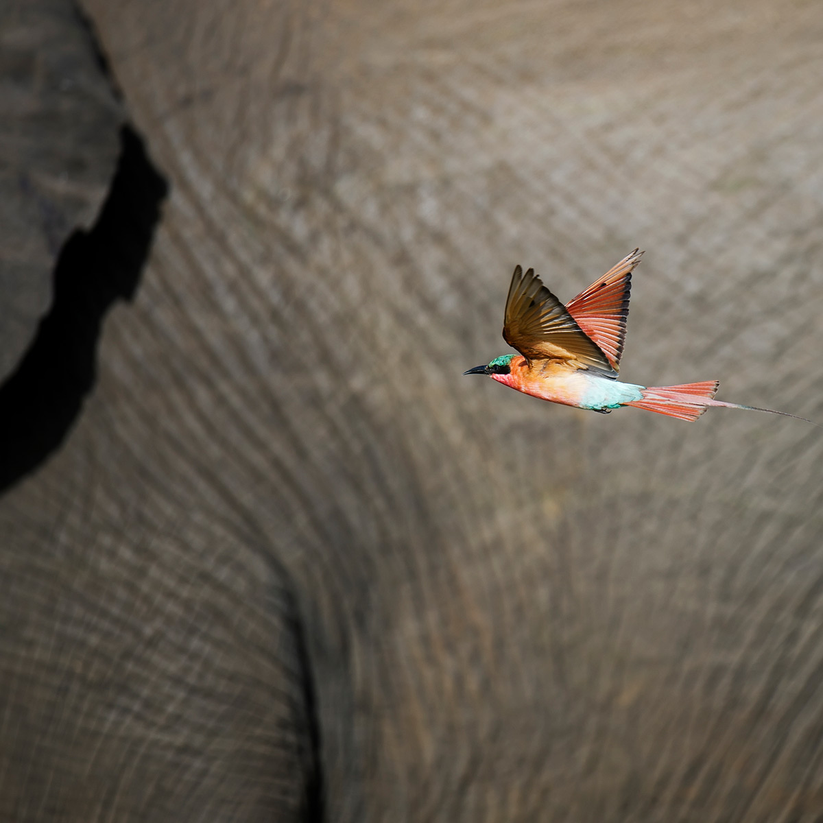 A carmine bee-eater flies around an elephant in Kruger National Park, South Africa © Licinia Machado