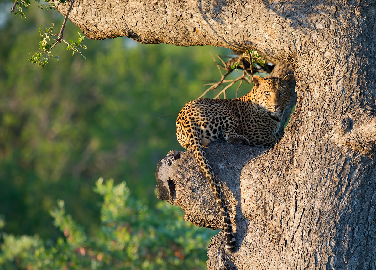 A leopard rests in a tree while the sun rises in Kruger National Park, South Africa © Licinia Machado