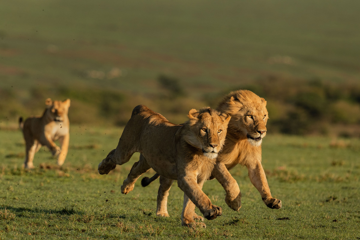 """These two nomadic brothers tried to take over a pride, however they were completely overpowered by the lioness who chased these intruders away from her pride"" – Maasai Mara National Reserve, Kenya © Magal Sanjeev"