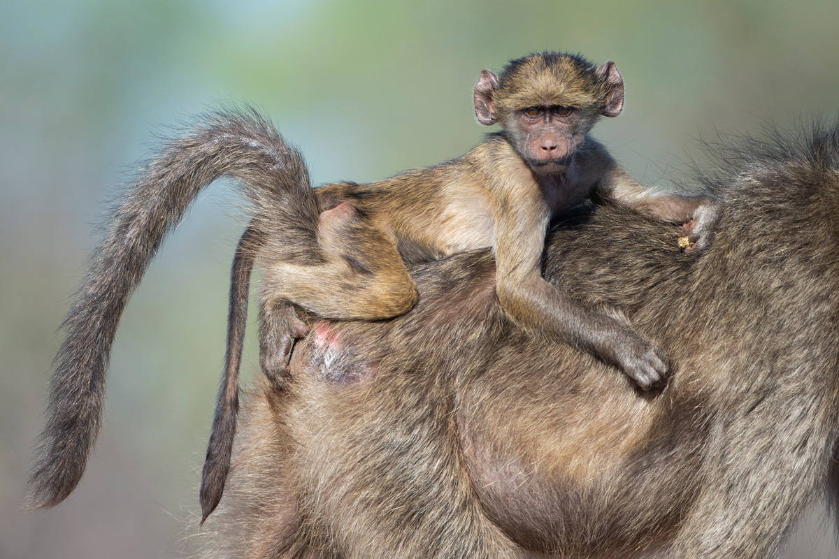 A young baboon rides on his mother's back in Khaya Ndlovu Game Reserve, South Africa © Margie Botha