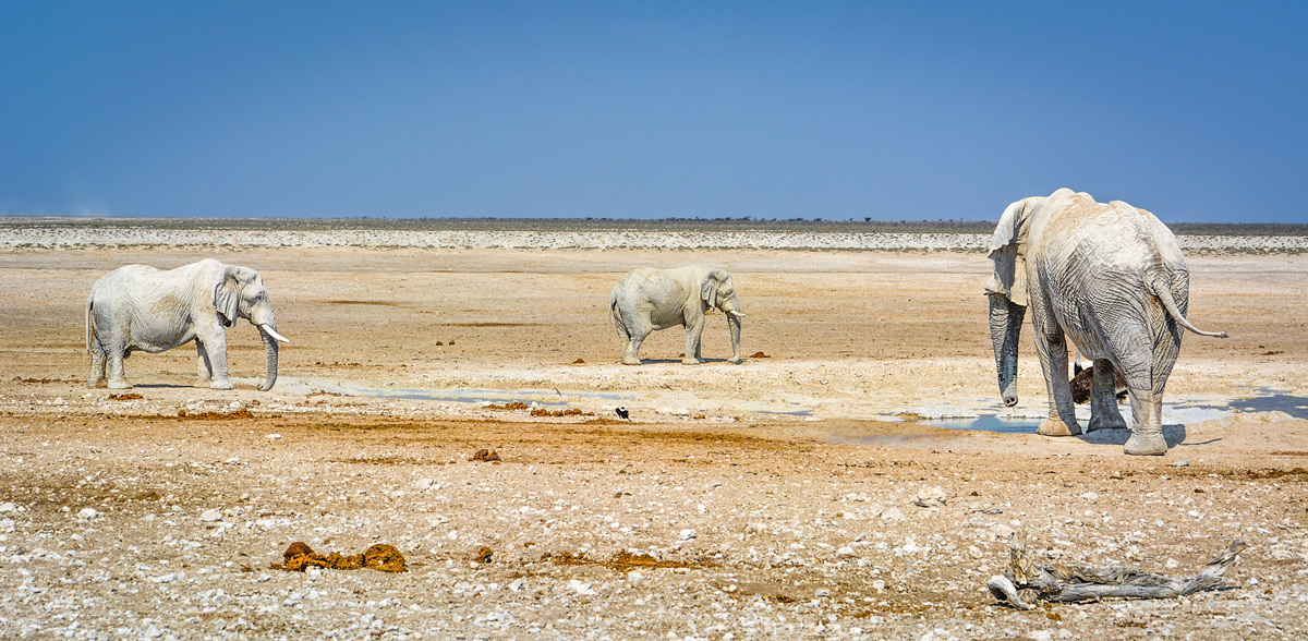 """Ghosts of Etosha"" – three large elephant bulls converge at a waterhole in Etosha National Park, Namibia © Mari van Bosch"