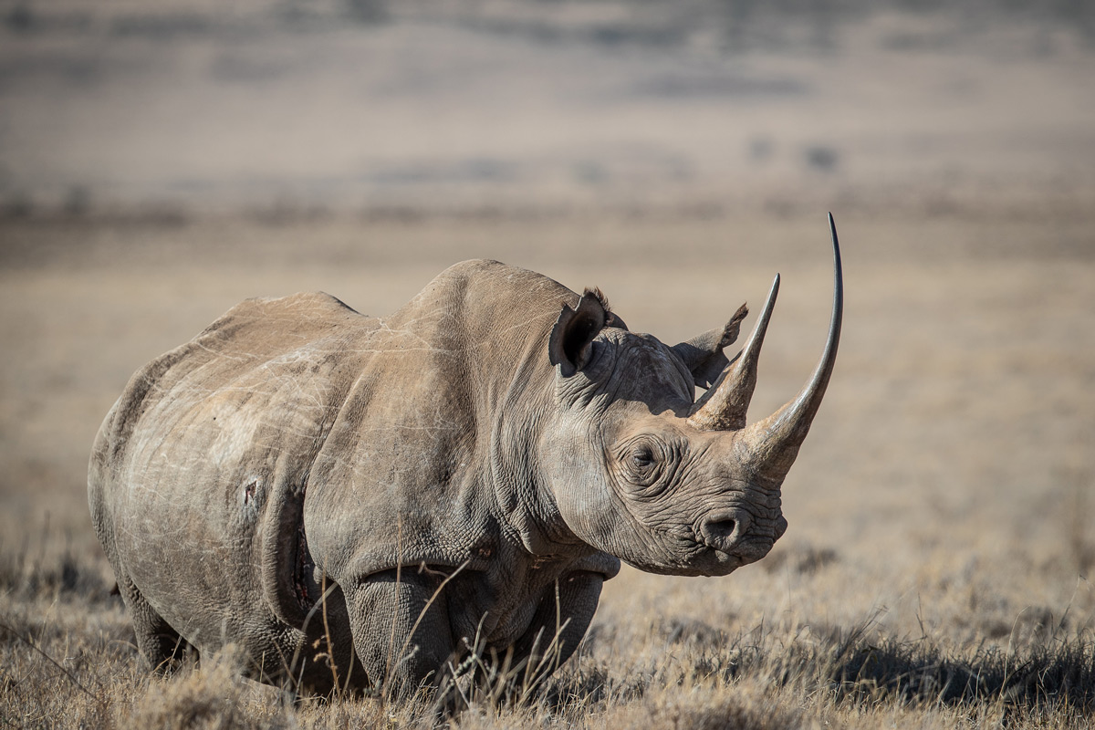 A majestic black rhino in Kenya © Matthew Scerri