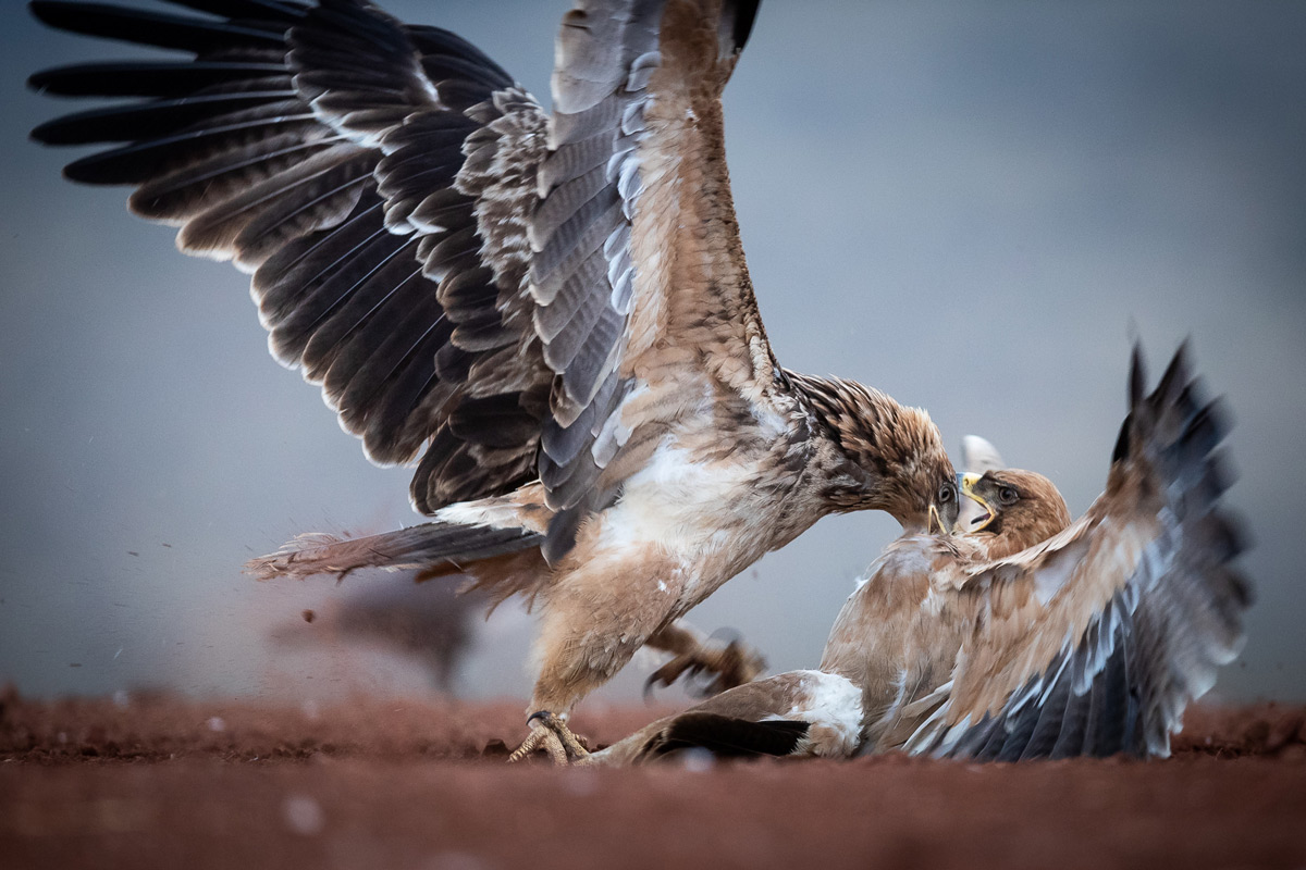 Tawny eagles fight for dominance over food in Zimanga Private Game Reserve, South Africa © Matthew Scerri