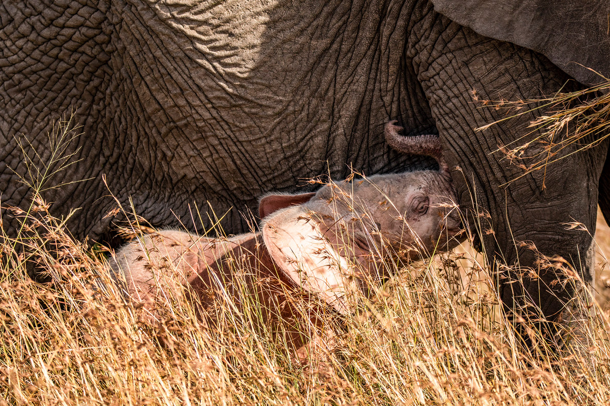 A leucistic elephant calf spotted in Maasai Mara National Reserve, Kenya © Michele Cabria