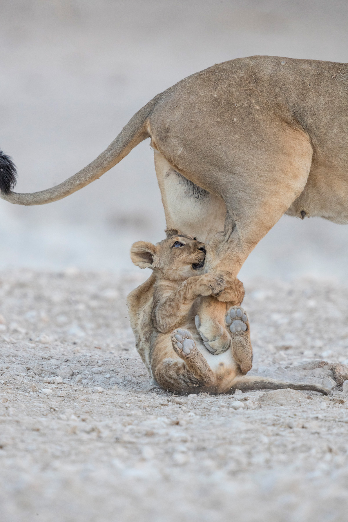 A lion cub grabs his mother's leg as she gets up after resting in Etosha National Park, Namibia © Owen Jason Kandume