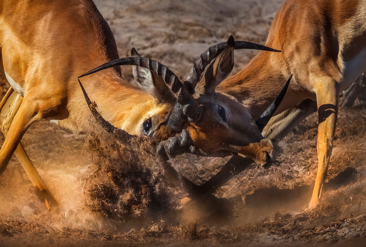 A fight between two gazelle in Chobe National Park, Botswana © Panos Laskarakis