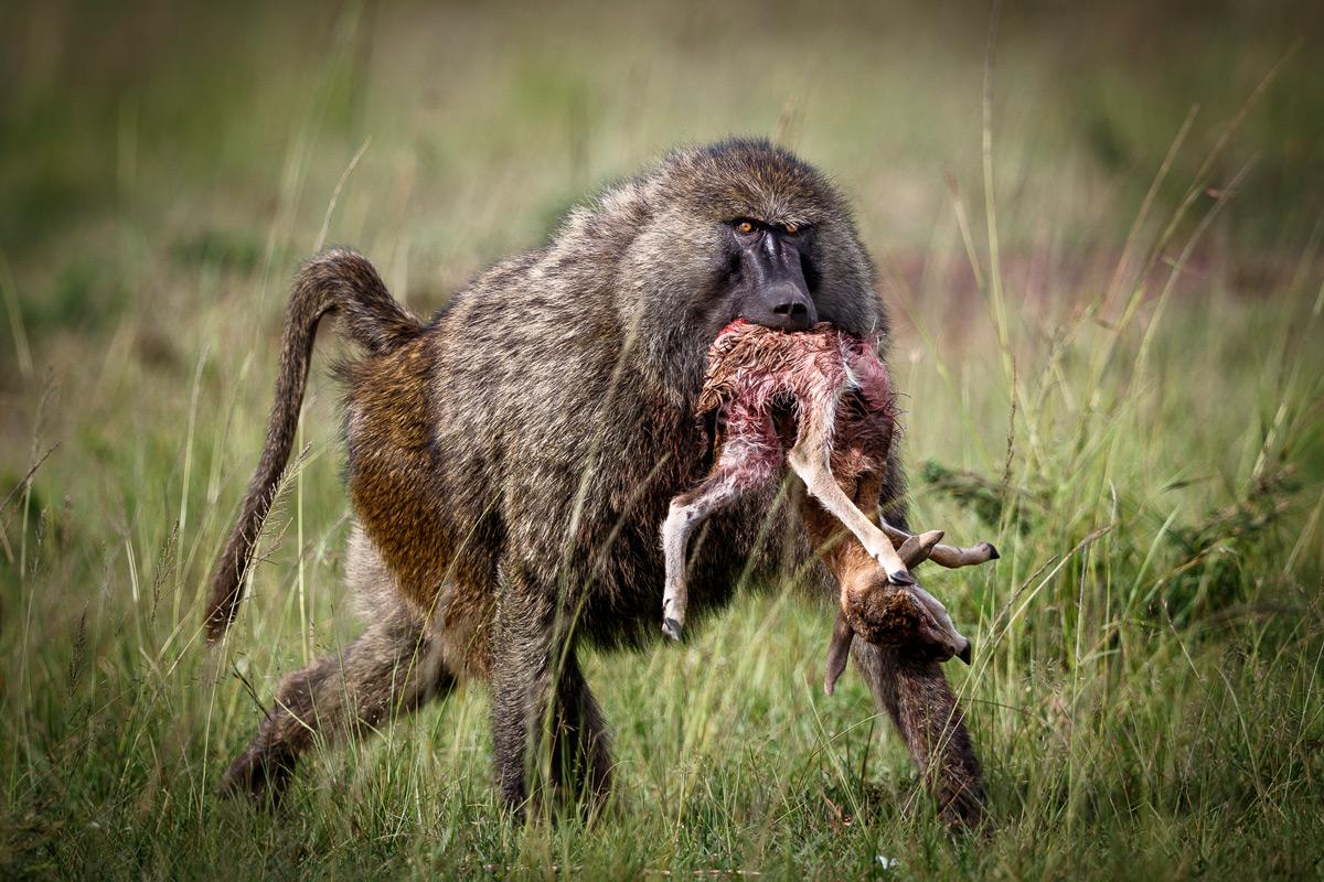 A baboon with an antelope calf that it killed in Maasai Mara National Reserve, Kenya © Patrice Quillard