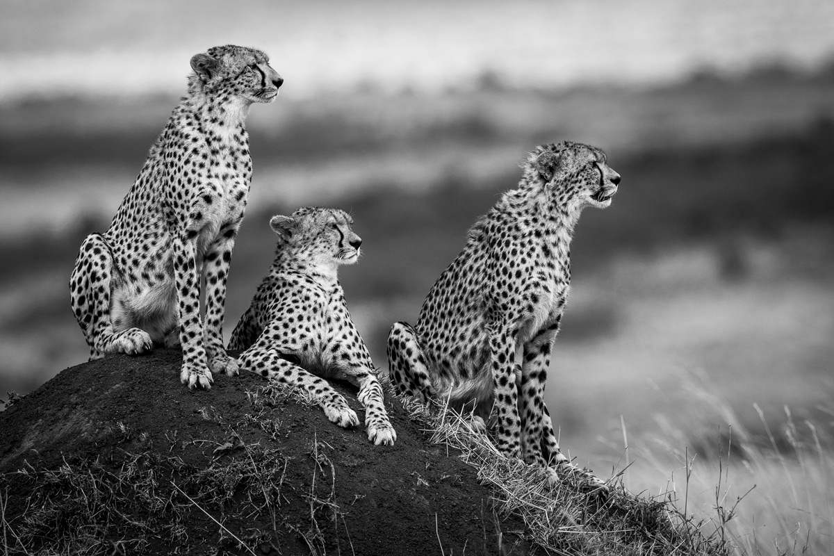 Cheetahs observe the landscape from their mound in Maasai Mara National Reserve, Kenya © Patrice Quillard