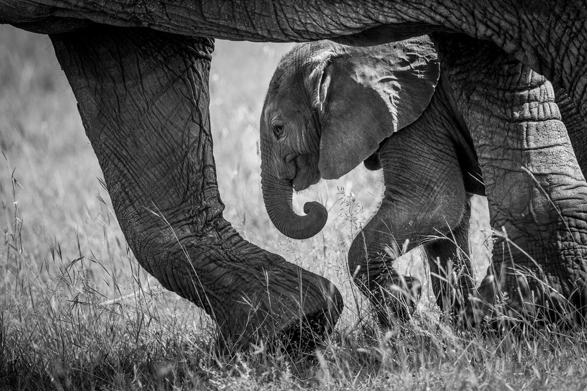An elephant calf walks close to its mother in Maasai Mara National Reserve, Kenya © Patrice Quillard
