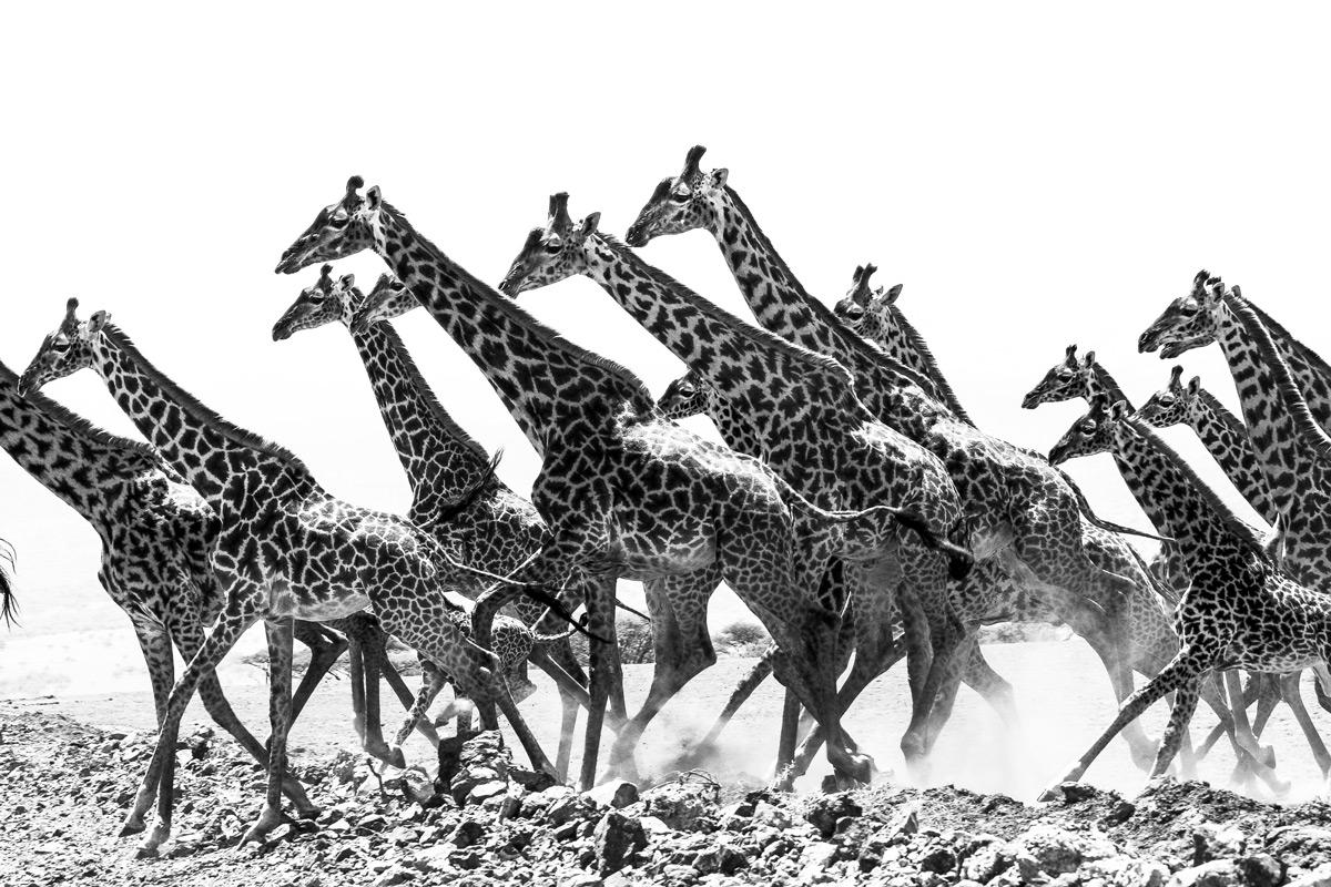 Giraffes make a run for it in Serengeti National Park, Tanzania © Patrice Quillard
