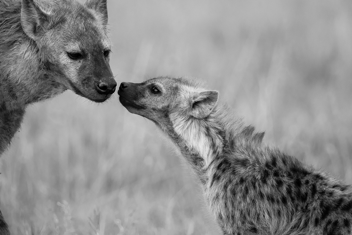 A touching scene between a hyena cub and an adult in Maasai Mara National Reserve, Kenya © Patrice Quillard