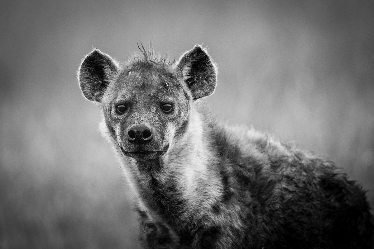 Portrait of spotted hyena in Maasai Mara National Reserve, Kenya © Patrice Quillard