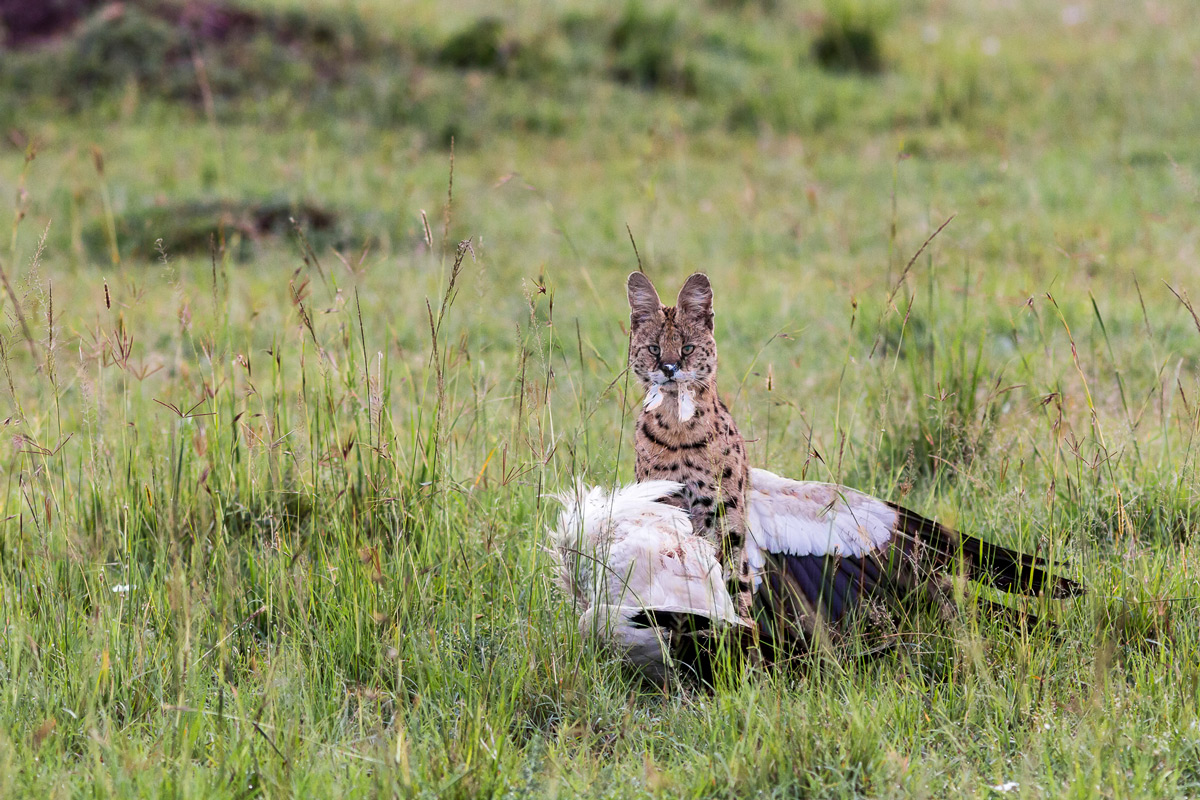 A serval with a white stork in Maasai Mara National Reserve, Kenya © Patrice Quillard