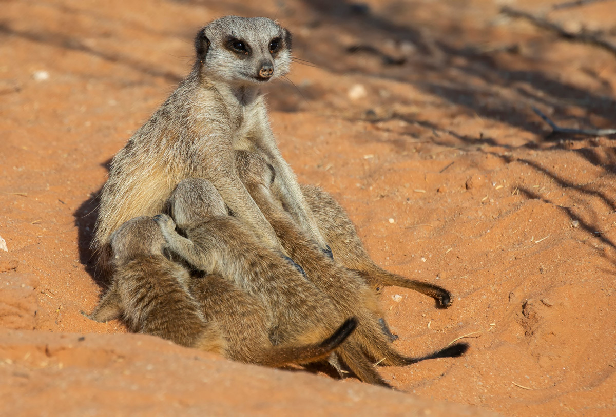 """The joys of motherhood"" – an alpha female meerkat patiently nurses her young brood in Kgalagadi Transfrontier Park, South Africa © Prelena Soma Owen"