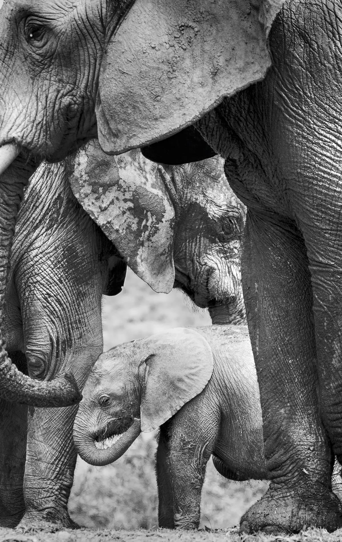 An elephant calf amongst adults in Addo Elephant National Park, South Africa © Prelena Soma Owen