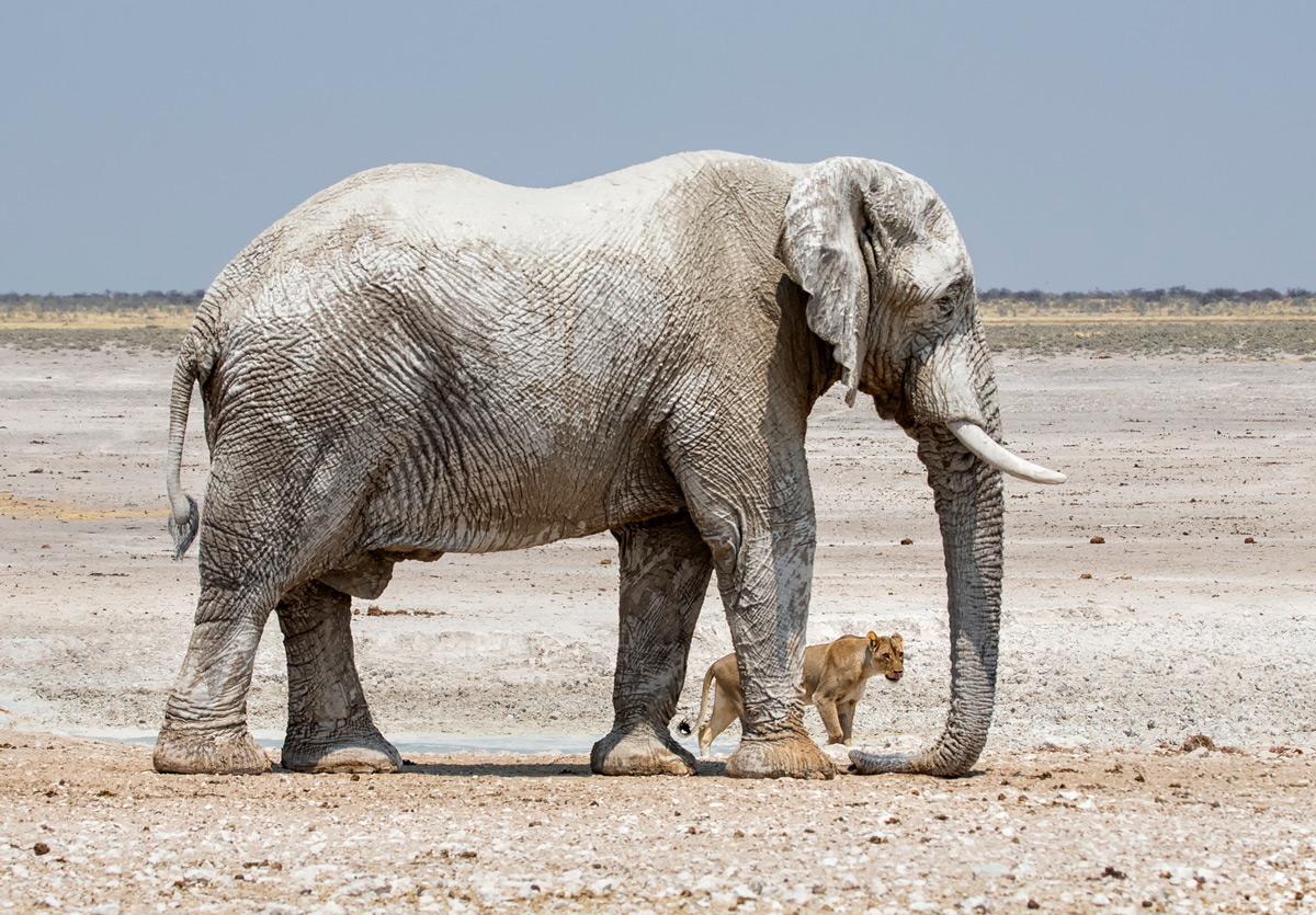 """Unlikely drinking partners"" – a lion and elephant meet at a waterhole in Etosha National Park, Namibia © Prelena Soma Owen"
