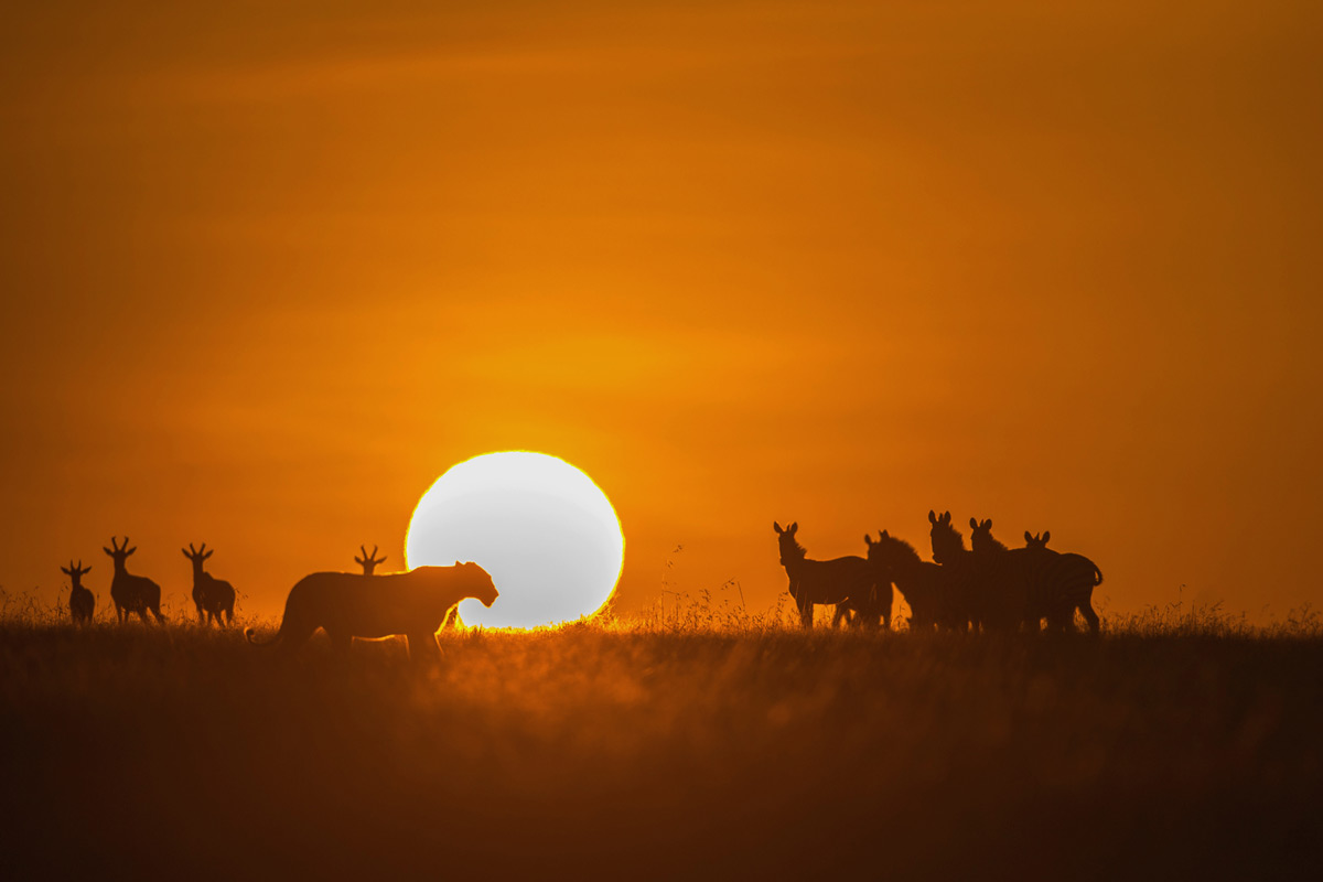A lioness strolls by at sunset in Maasai Mara National Reserve, Kenya © Ramachandiran Govinaraj