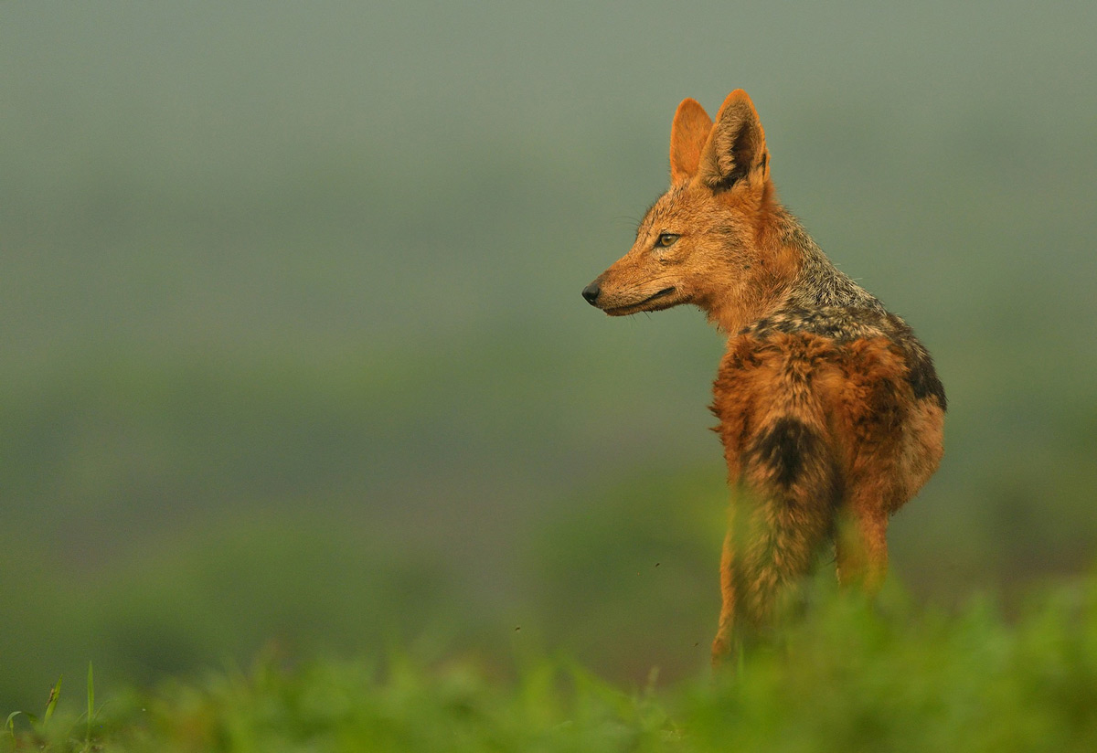 A black-backed jackal spotted in Zimanga Private Game Reserve, South Africa © Rhona Sellschop
