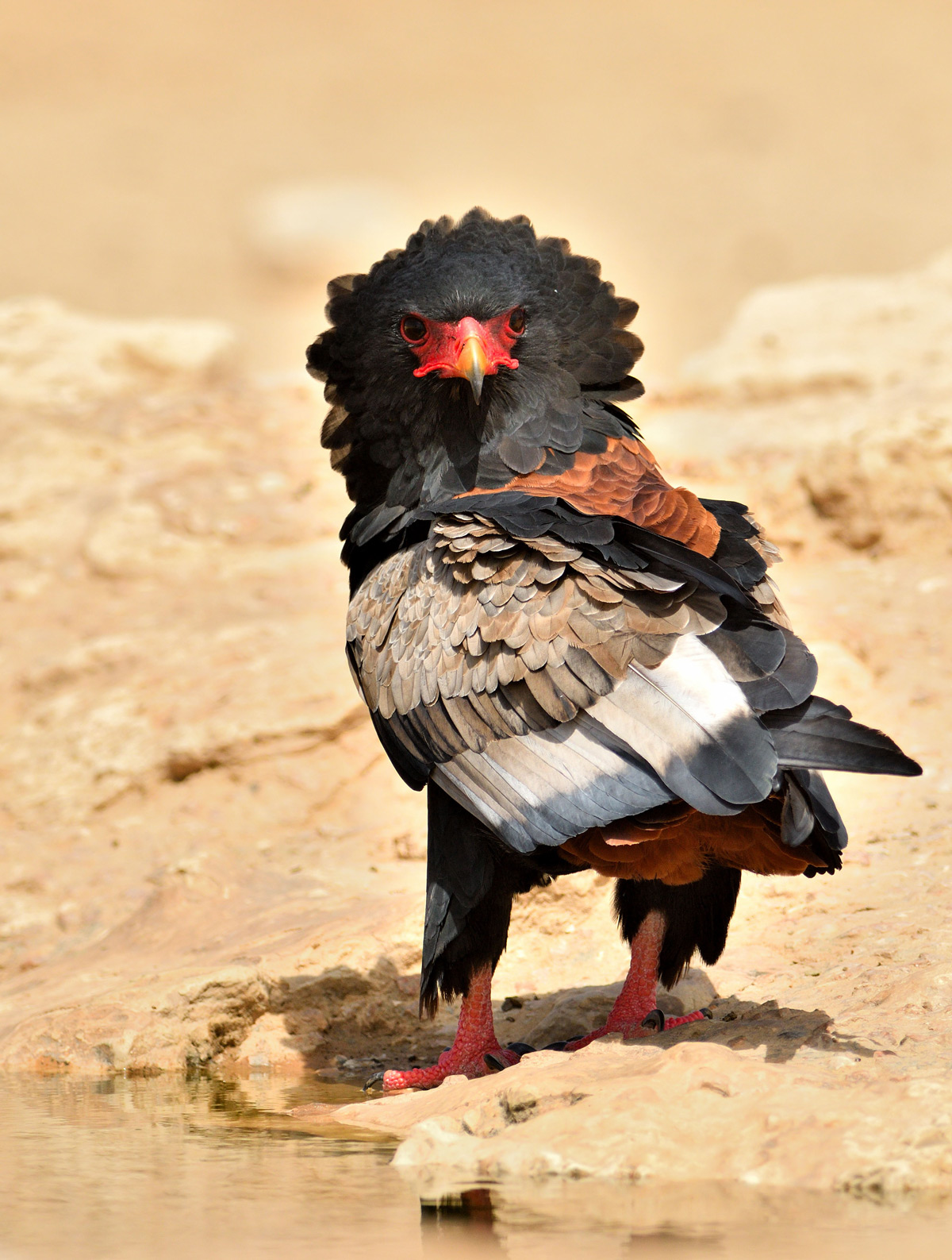 A bateleur stands by a waterhole in Kgalagadi Transfrontier Park ,South Africa© Rob Keulemans