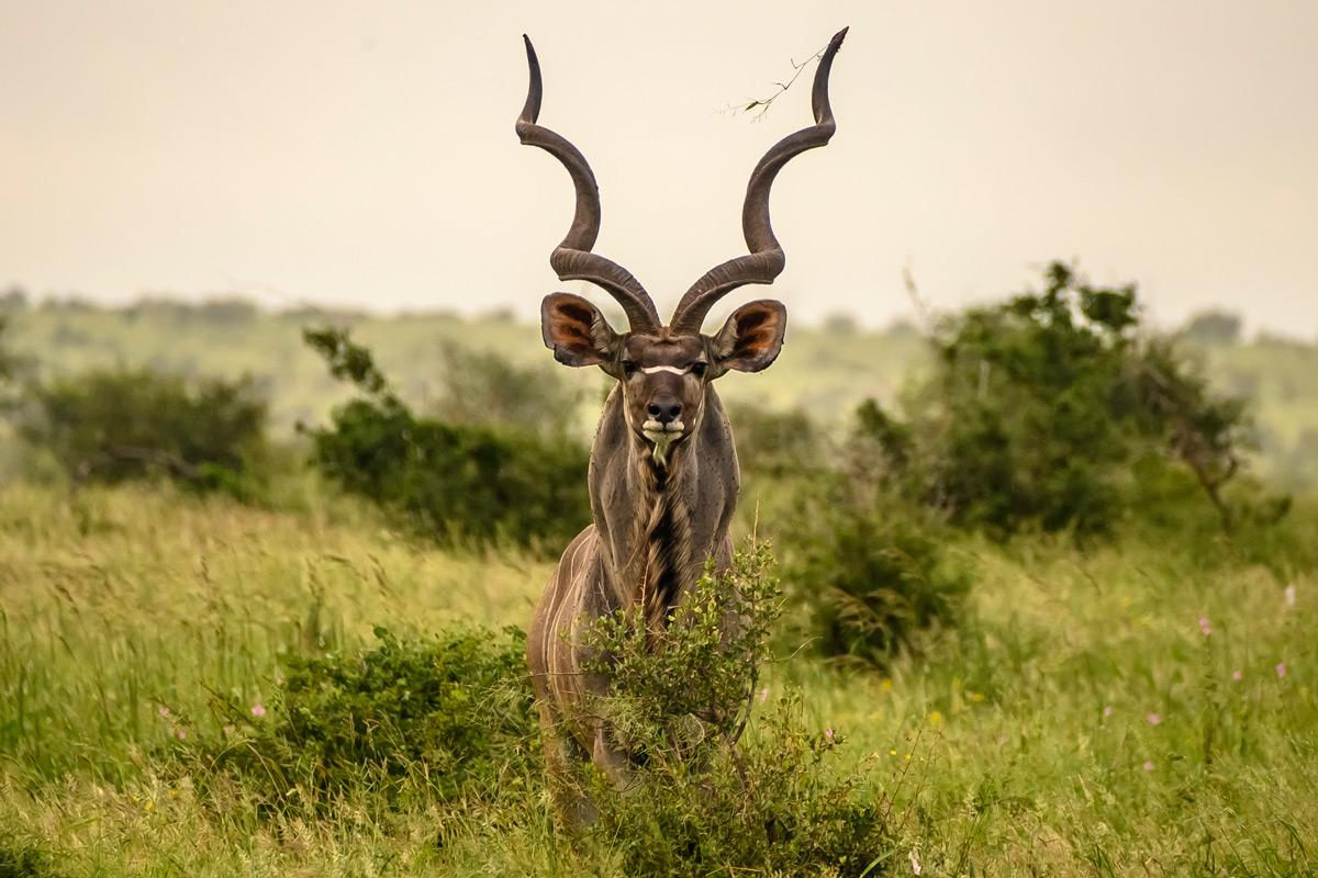 An imposing kudu bull spotted in Kruger National Park, South Africa © Robert Holmwood